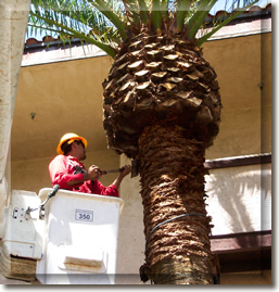 Date palm trimming