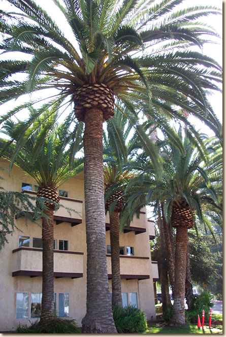 Healthy date palm trees - San Diego tree trimming