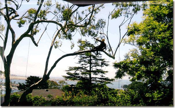 pruning Point Loma eucalyptus tree